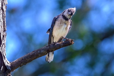 Angry Blue Jay