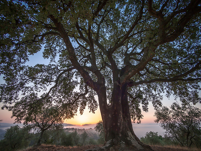 300+ Year Old Oak Tree at sunrise, Tuscany, Italy