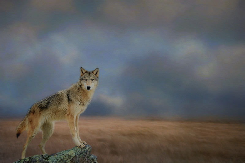 the Scout, grey wolf