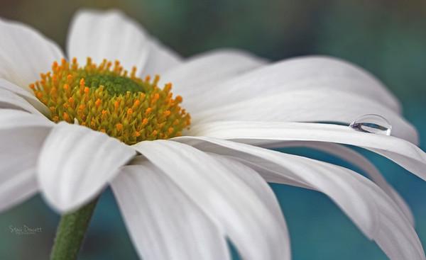 Macro White Daisy