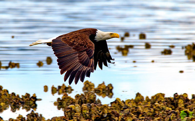 Bald Eagle Low Tide Hunter