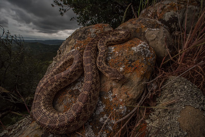 A gopher snake (Pituophis catenifer), it can be found in nearly every habitat type in the Bay area. Adults feed largely on rodents although small birds may be consumed, juveniles often feed on lizards.