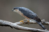 Sharp-shinned hawk-3642