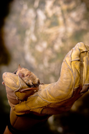Little Brown Bat, Ocala, Florida
