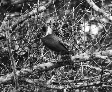 Gray-bellied Hawk