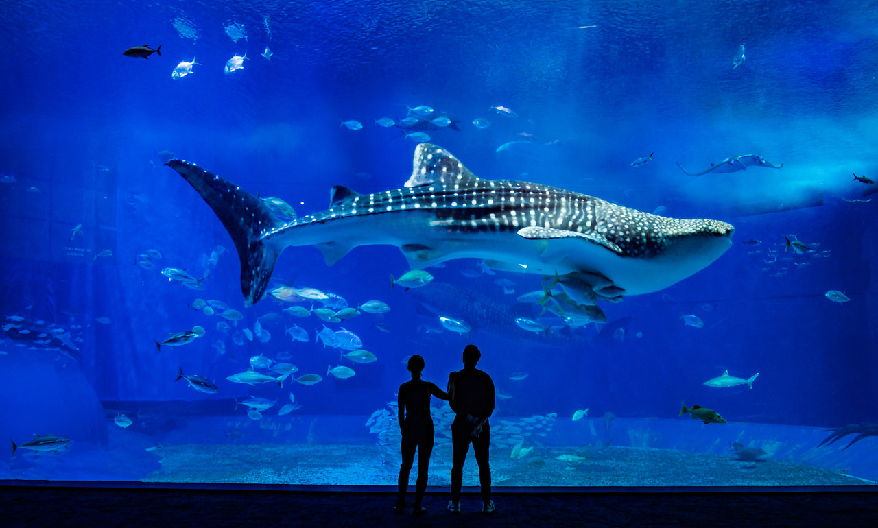 The Whale Shark In Okinawa