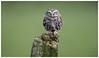 Ella's owl
