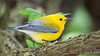 Prothonotary Warbler_1206
