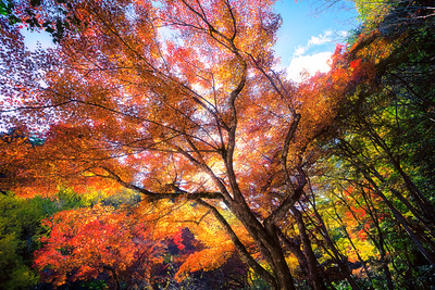 Autumn Leaves Fall in Japan is very beautiful. The maple tree forests create almost a fairy tail like world all around you.