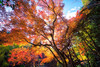 <h1>Autumn Leaves</h1> <p>Fall in Japan is very beautiful. The maple tree forests create almost a fairy tail like world all around you.</p>