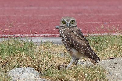 Athene cunicularia - Burrowing Owl