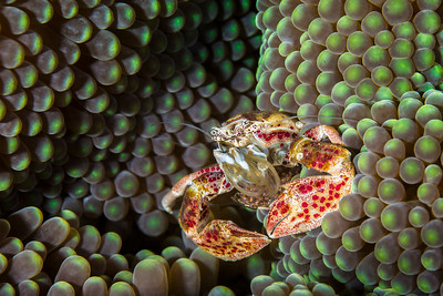Porcelain Anemone Crab with Eggs