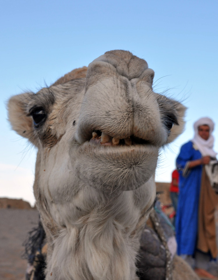 Portrait of an angry camel