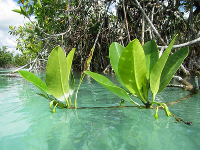 Mangrove leaves in the aquamarine canal, Sian Ka'an Biosphere Reserve Muyil, Yucatan Peninsula