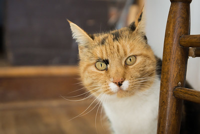 A headshot pet portrait of a calico cat looking at you from behind a wooden chair leg.