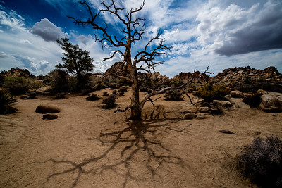 Tree and Shadow, Hidden Canyon, Joshua Tree National Park, California