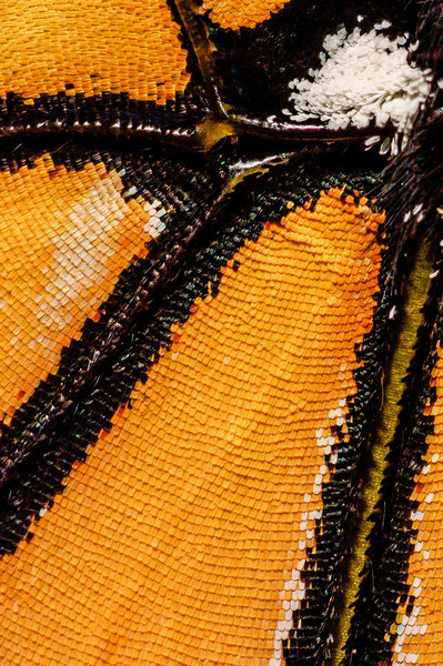 Live Monarch butterfly wing