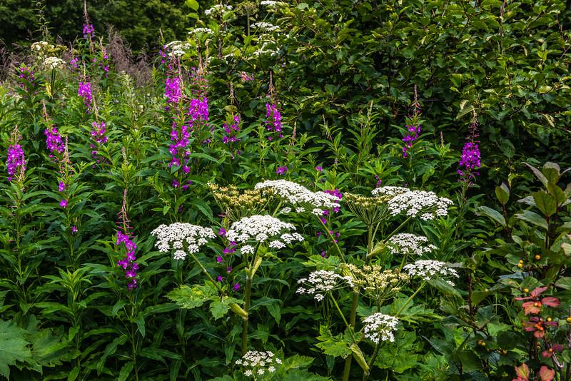 Giant White & Purple Fireweed