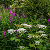 Giant White & Purple Fireweed