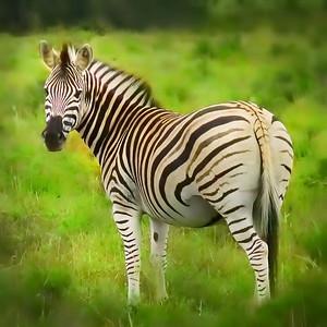 Little girl's fantasy zebra
