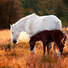 Wild Horses in the Sychnant Pass, Conwy, Snowdonia, Wales
