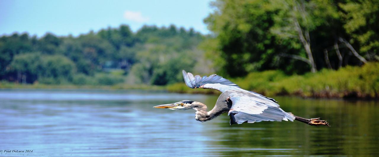 Grey Heron in flight #1