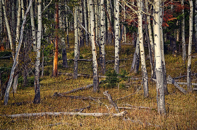 'Yellowstone Forest' ~ Yellowstone National Park