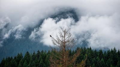 Osprey in British Columbia