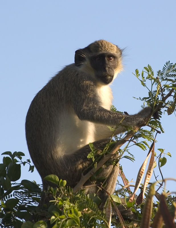 Vervet green monkeys, Nevis