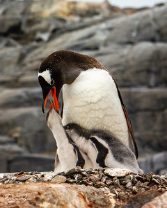 Lunch time - Gentoo Penguins