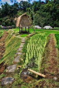 Beautiful Rice Fields and Hut