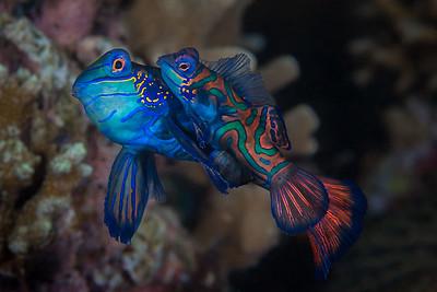 Mating Mandarinfish