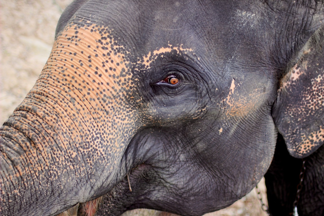 Extreme Elephant close up, Chiang Mai Thailand. The pinkish or lighter colour on the elephant is an age spot. The more pink, the older it is.
