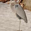 Grey Heron in Winter