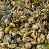 Oysters For Days - Cortes Island