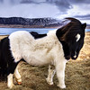 "<h2>Icelandic Sheepdog</h2> <br/>Here is another one of these unusual-looking horses from Iceland. When Rebekka took me out to the fjords to go shoot horses, I did not expect that the horses would be nearly so hairy. I was thinking it might have been seasonal because of the cold, but then again, I have very little business determining anything about Icelandic wildlife.<br/><br/>- Trey Ratcliff<br/><br/><a href=""http://www.stuckincustoms.com/2007/03/23/icelandic-sheepdog-oh-and-twitter-and-kodak-seems-to-be-stealing-my-images/"" rel=""nofollow"">Click here to read the rest of this post at the Stuck in Customs blog.</a>"