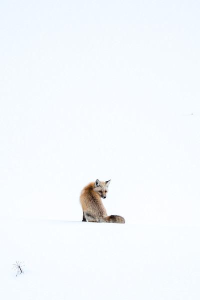 Fox Pose