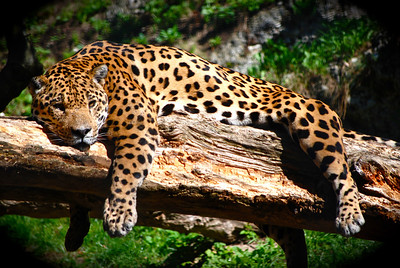 Salzburg Zoo Leopard.