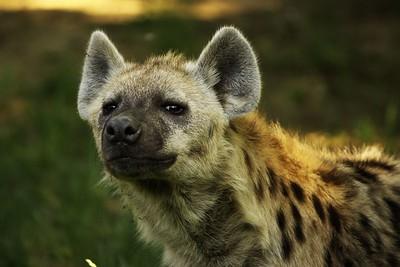 Hyena nasává. Trofo tvrdila, že ji určitě zajímá ta oplatka, co jí. Nemyslím, že hyenu zajímala oplatka...