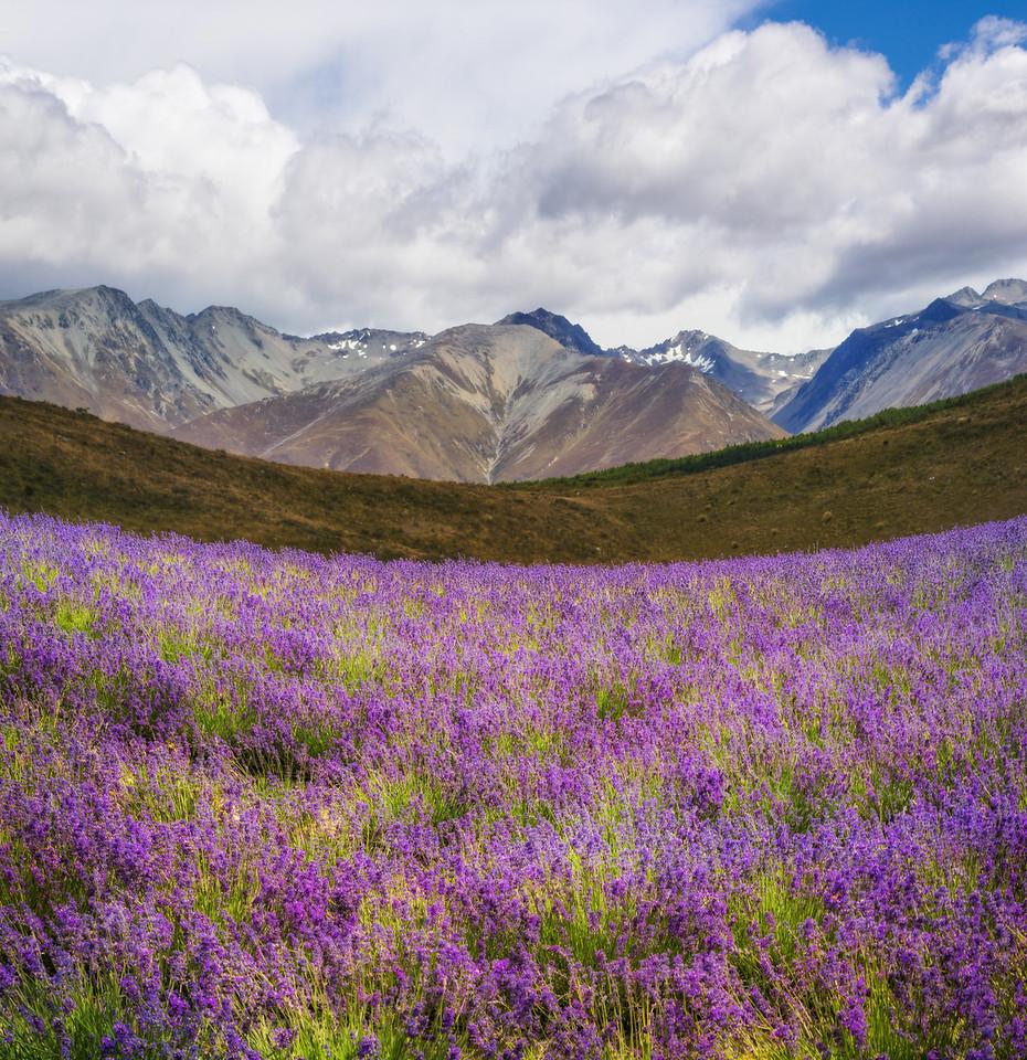 Wandering In The Lavender Fields