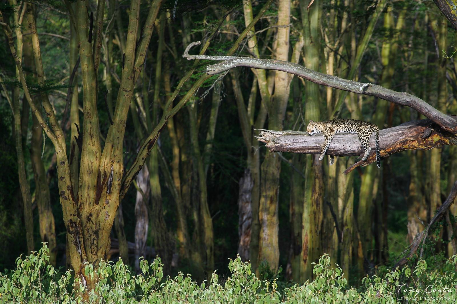 Leopard sleeping in a tree