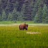 Grizzly Eating Lake Clark Alaska