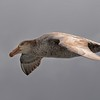 Southern Giant Petrel On Wing - Salisbury Plain South Georgia Sub Antarctic Region