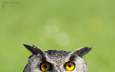 Wise Old Owl Stare