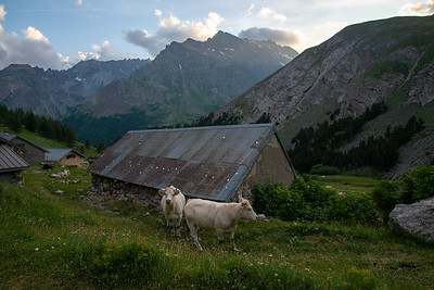 Cows pose under towering peaks of the Massif des Ecrins in France.