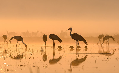 Wattled cranes and black lechwe