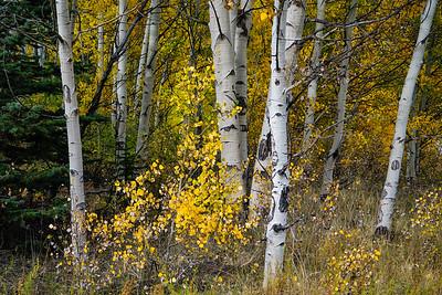 'Aspen Gold' ~ Colorado