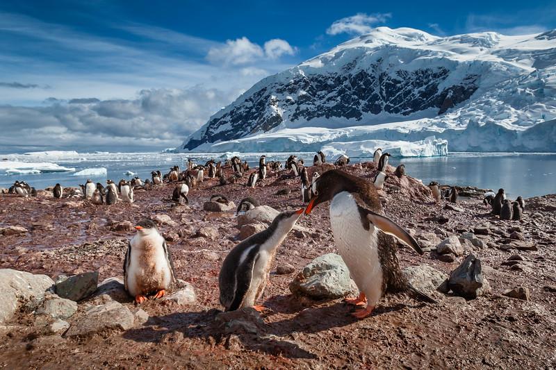 A Family Gathering   Nikko Island, Antarctica