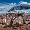A Family Gathering | Nikko Island, Antarctica