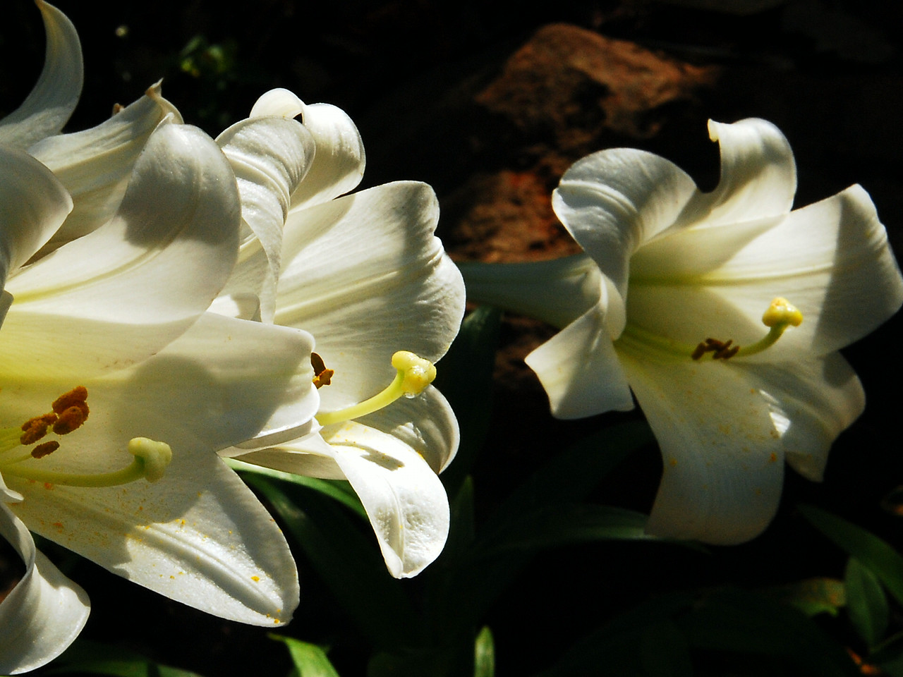 Garden Lillies in Afternoon Light